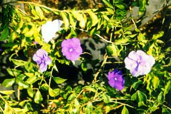 yesterday, today and tomorrow (Brunfelsia grandiflora)